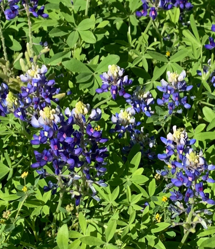 Texas Blue bonnet PlantingMe.com